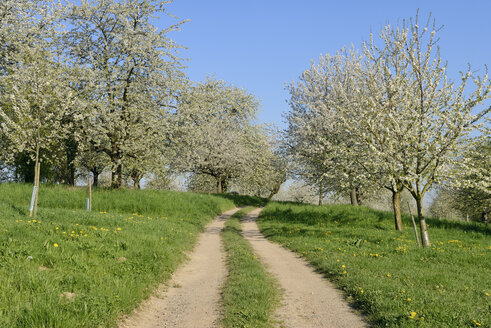 Germany, Baden-Wuerttemberg, Rural road through cherry tree orchards - RUEF01831