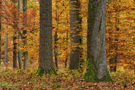 Germany, Bavaria, Forest in autumn - RUEF01834