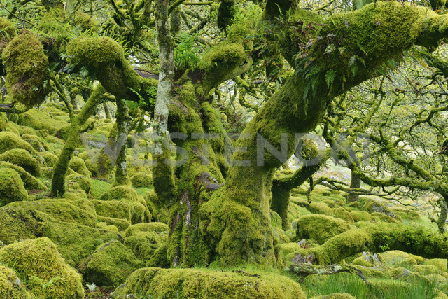 United Kingdom, England, Dartmoor National Park, Trees and granite boulders are overgrown with moss - RUEF01843