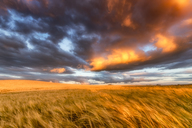 United Kingdom, East Lothian, barley field at sunset - SMAF00998