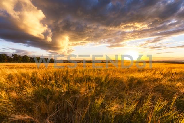 United Kingdom, East Lothian, barley field at sunset - SMAF01001