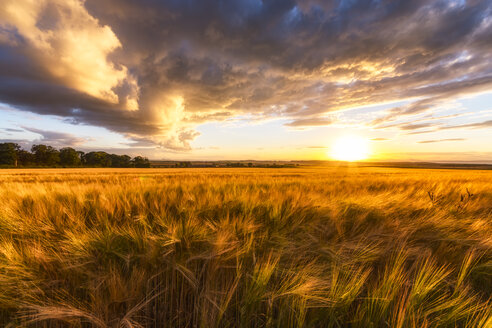 United Kingdom, East Lothian, barley field at sunset - SMAF01001