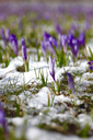 Germany, crocus flowers on a meadow with remains of snow - JTF00961