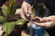 Senior man's hands planting - CAVF31540