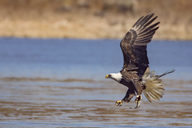 Side view of bald eagle hunting fish over lake - CAVF31554