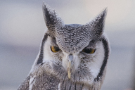 Close-up portrait of white-faced owl - CAVF31569