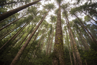 Low angle view of tall trees in forest - CAVF32239