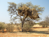 Africa, Namibia, community nest of weaver birds - RJF00733