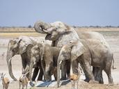 Africa, Namibia, Etosha National Park, Elefants at waterhole, Loxodonta africana - RJF00784