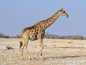 Africa, Namibia, Etosha National Park, Giraffe, Giraffa camelopardalis - RJF00787