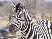 Africa, Namibia, Etosha National Park, Portrait of plain zebra, Equus quagga - RJF00790