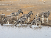 Africa, Namibia, Etosha National Park, plains zebras at waterhole, Equus quagga - RJF00793