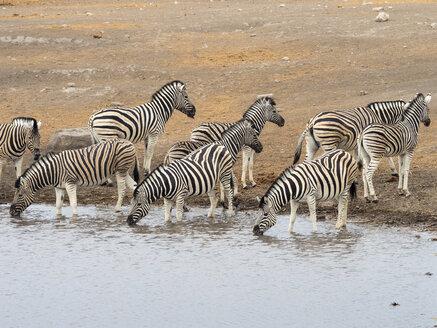 Africa, Namibia, Etosha National Park, plains zebras at waterhole, Equus quagga - RJF00793