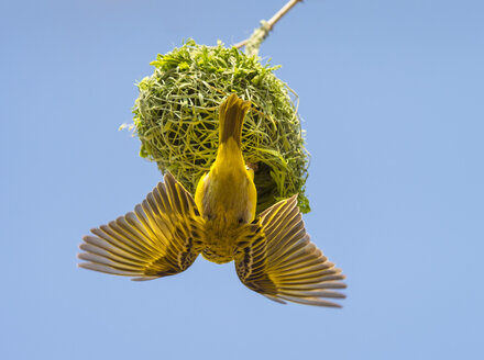 Africa, Namibia, weaver bird on Nest, Ploceidae - RJF00796
