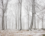 Bare beech trees in winter forest - FOLF07161