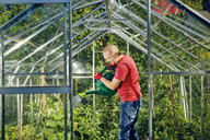 Man watering plants in greenhouse - FOLF07810