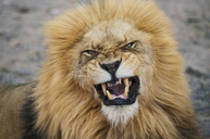 Close-up portrait of angry lion at national park - CAVF33658