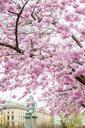 Blossoming cherry tree - FOLF08087