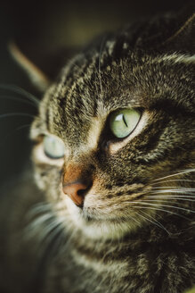Portrait of tabby cat - RAEF01991