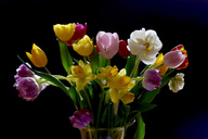 Tulips and daffodils in vase in front of black background - JTF00965