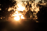 Silhouette of roe deer at sunset - FOLF08999