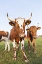 Close-up shot of bulls in farm pastureland - FOLF09077