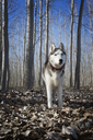 Siberian Husky in forest during winter - CAVF34417