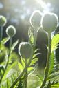 Poppy buds - FOLF09571