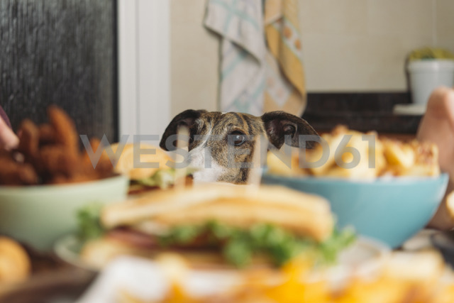 Dog watching dining table full of food at home - SKCF00389