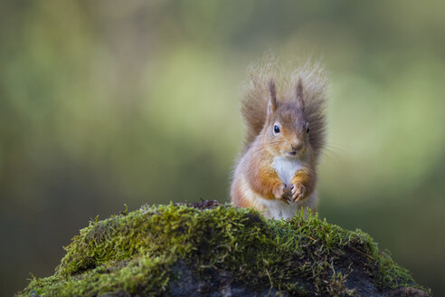 Red squirrel - MJOF01477