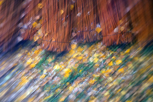 Spain, Wicker cultivation in Canamares in autumn, blurred - DSGF01706