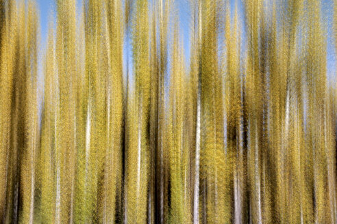 Spain, Wicker cultivation in Canamares in autumn, blurred - DSGF01739