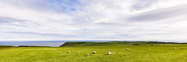 Scotland, Aberdeenshire, Flock of sheep at the coast near Crobie - WDF04560