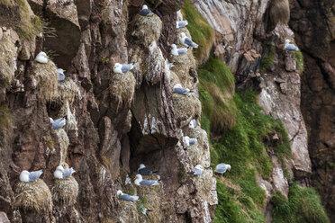Scotland, Aberdeenshire, Bullers of Buchan, nesting seagulls - WDF04566