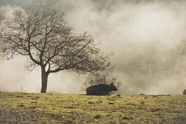 Spain, Cow lying in a meadow - OCAF00168