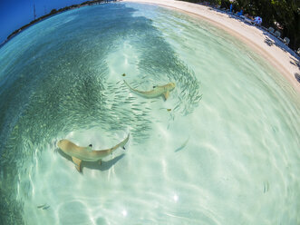 Maledives, Ross Atoll, lagune with sardines and hunting blacktip reef sharks - AMF05687