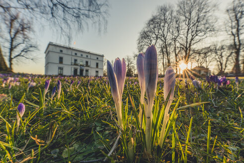 Germany, Hamburg, Jenisch park, Crocuses against the sun, Jenisch House in the background - KEB00801