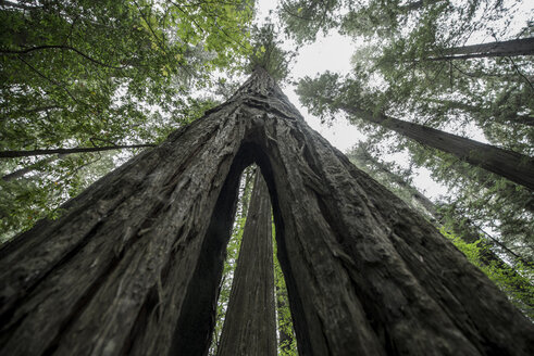 Low angle view of redwood tree growing in forest - CAVF35593