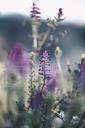 Purple flowers in Lleida - OCAF00212