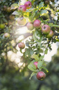 Low angle view of apples growing in orchard - MASF03115