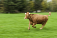 Germany, Bull running on field - PAF01797