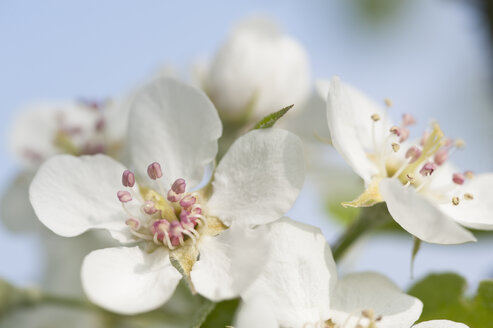 White apple blossoms, close-up - CRF02776