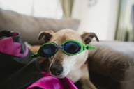 Portrait of dog wearing swimming goggles at home - CAVF37694