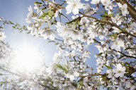 Low angle view of white flowers blooming on branch during sunny day - MASF03579