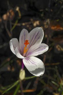 Flowering crocus - JTF00978
