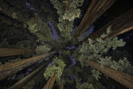 Low angle view of trees at Jedediah Smith Redwoods State Park - CAVF38681