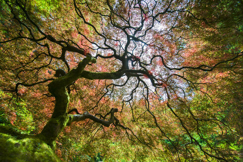 Low angle view of Japanese Maple during autumn - CAVF38735