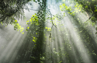 Scenic view of sunrays streaming through trees in forest - CAVF39047