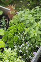 High angle view of plants growing in crate at vegetable garden - MASF04873