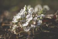 White Liverworts - ASCF00842